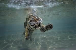 bönen schwimmbad 21 terrific tiger facts