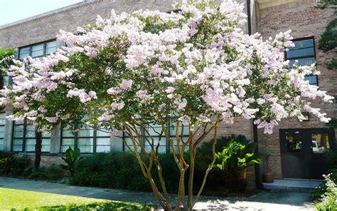Landscape Supply Myrtle Crepe Myrtle Tree For Sale Fort Myers