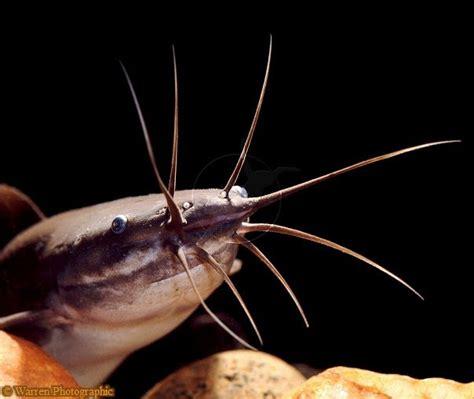 Joran Pancing Ikan Lele umpan ikan lele tipmancing