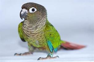 green cheek conures as pets species profile