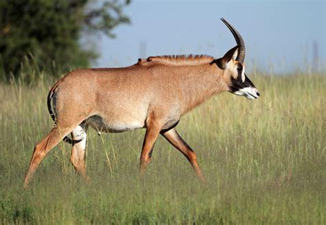 roan antelope hippotragus equinus
