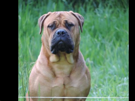 akc marketplace puppies bullmastiff puppies for sale akc marketplace