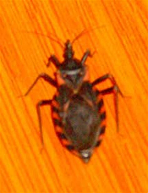 do bed bugs suck blood eastern blood sucking conenose bug what s that bug