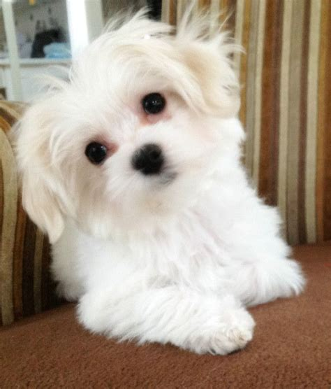 maltese puppies for sale in pa 25 best ideas about maltese dogs on baby maltese teacup maltipoo and