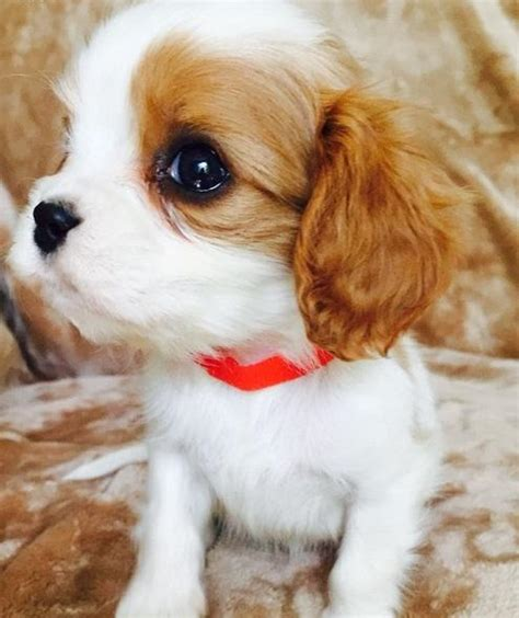 ruby cavalier king charles spaniel puppies for sale cavalier king charles spaniel puppies for sale san francisco