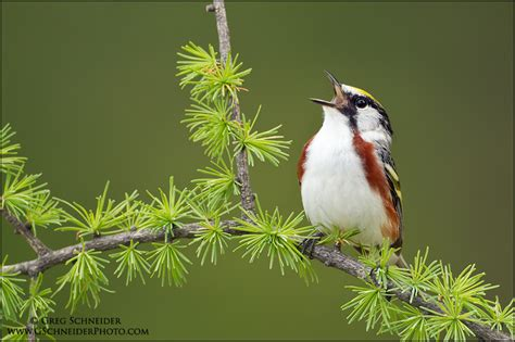 chestnut sided warbler singing from tamarack perch