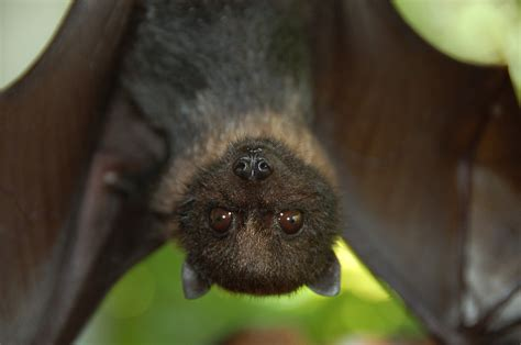 fruit bat 13 awesome facts about bats u s department of the interior
