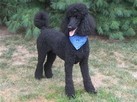poodle grooming styles pic tures img 7582 jpg 991 x 743 77 poodle style pinterest