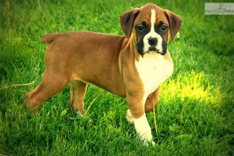 omaha puppies akc boxer pups boxer for sale breeds picture