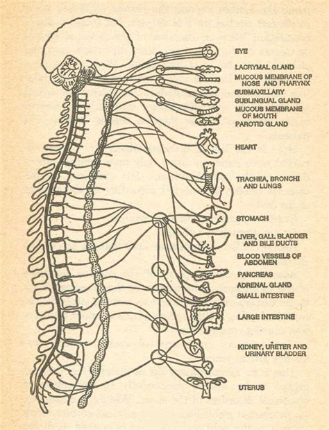 diagram of autonomic nervous system chiropractic diagram bodywork