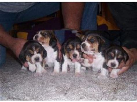 beagle puppies los angeles beagle puppies for sale