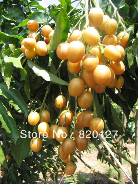 fruit tree seeds 50 fresh seeds wee wi clausena lansium