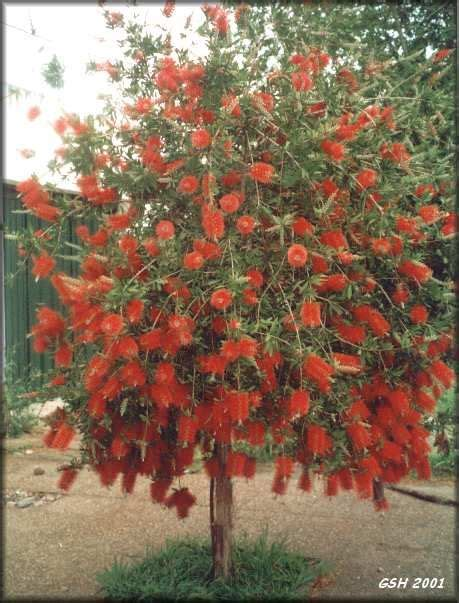 Bottle Brush Trees - the world s catalog of ideas