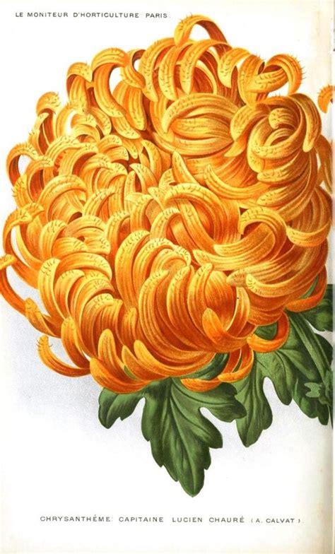 november color chrysanthemum flower november birthstone color