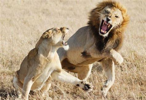 imagenes leones peleando leona defiende su cachorros de otro le 243 n videos de animales
