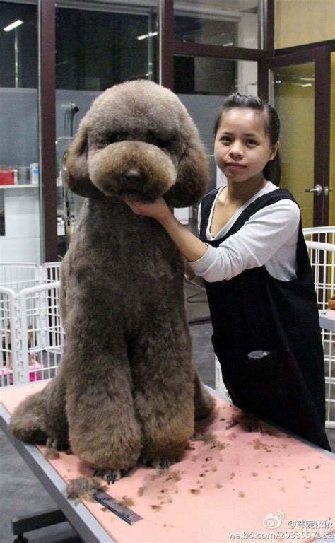 good razor for teddy bear cut 13 best tucker poodle images on pinterest poodles