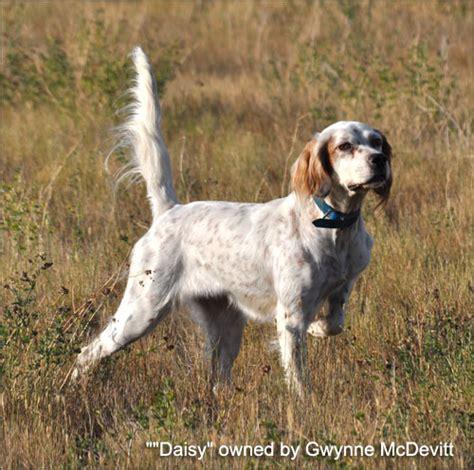 types of bird dogs bird breeds pointers
