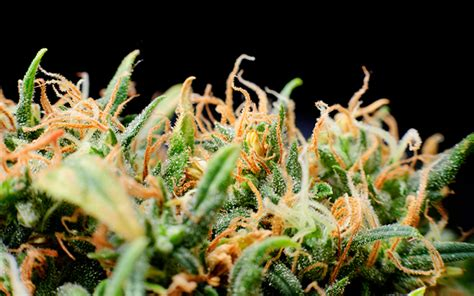 marijuana trichomes what are trichomes and why do they exist on cannabis leafly