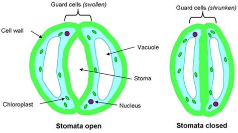 stomata diagram tomatosphere tomatosph 232 re specialized cells of the