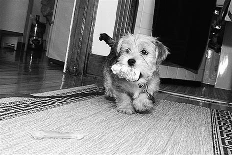 black and white yorkie puppies terrier puppy with a in its in black and white picture jpg