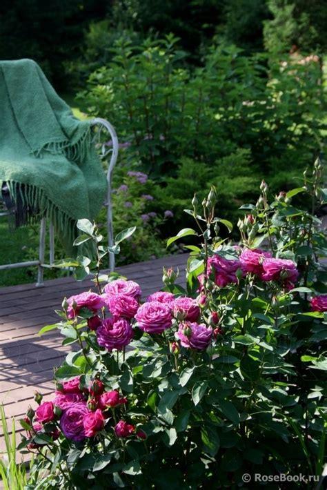 heidi garden heidi klum roses in russian privet gardens