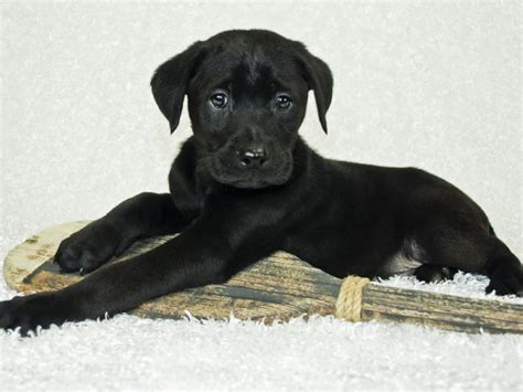 second of puppy destructive chewing may be a sign of s teething phase veen the