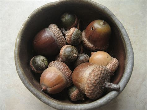 dogs acorns true of false it is dangerous for dogs to eat acorns justanswer