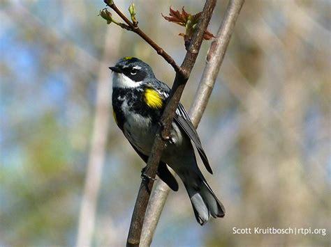 yellow rumped warbler setophaga coronata the roger
