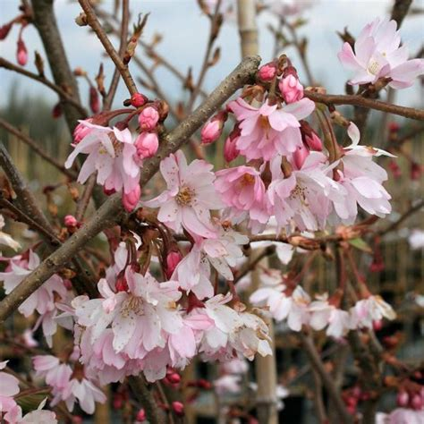 1 cherry tree brandesburton prunus autumnalis rosea autumn cherry tree mail order trees