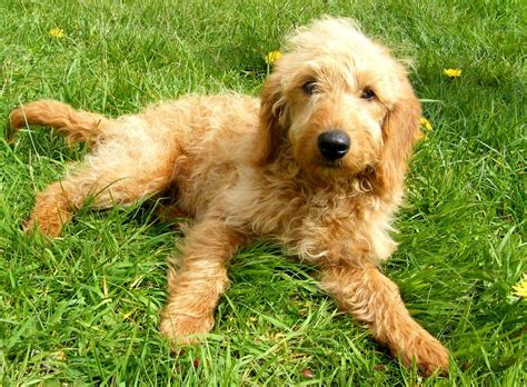 mini labradoodles uk miniature labradoodles fox f1b stoke on trent