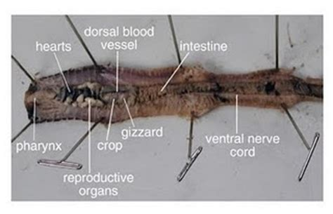 earthworm dissection doc rock n 12 what surprised you from the worm s dissection