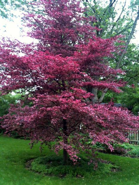 tri colored beech fagus sylvatica tricolor faggio tricolor alberi a foglia