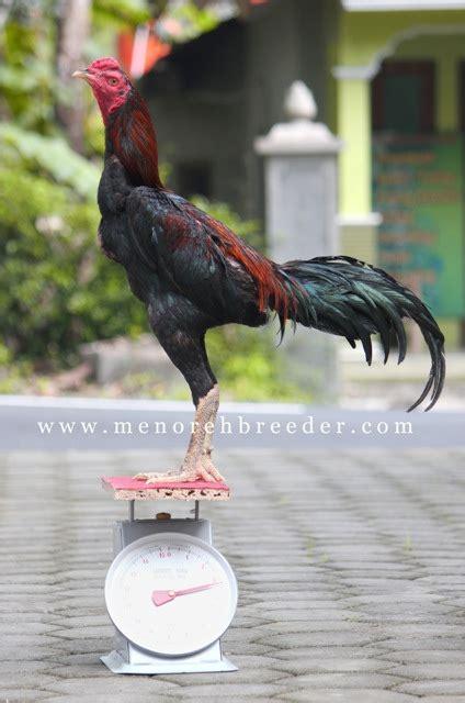 Timbangan Ayam mb 307 voltase terjual menoreh breeder peternakan ayam aduan sabung
