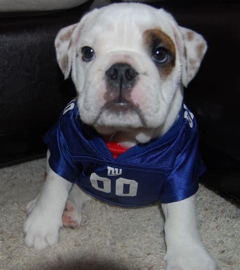 bulldog puppies ny adorable bulldog puppy in a ny giants football jersey ny giants