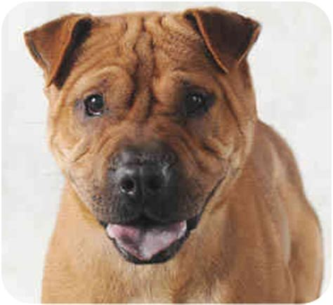 shar pei and pug mix sweetie pie adopted chicago il pug shar pei mix