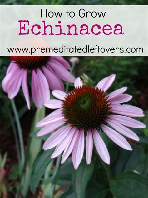 how to grow echinacea flower plants and grow your own