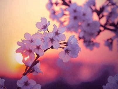 fiori di ciliegio giappone giappone hanami e i ciliegi in fiore non c 232 nulla di
