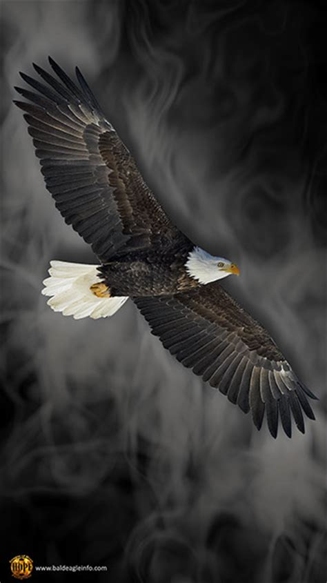 mobile phone bald eagle wallpaper  baldeagleinfocom