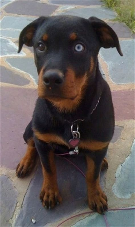 blue eyed rottweiler rottweiler breed pictures 1