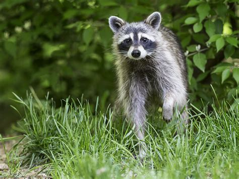 what to do if a raccoon is in your backyard what to do if a raccoon is in your backyard waschbr waschbren in der stadt lotor de