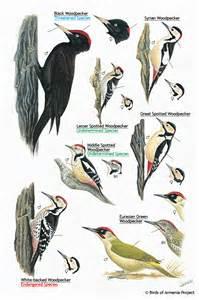 Bird Backyard Plate 38 Woodpeckers A Field Guide To Birds Of Armenia