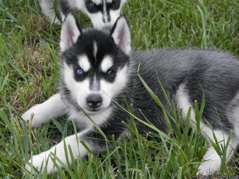 husky puppy price siberian husky puppies price 575 for sale in hstead maryland your city ads
