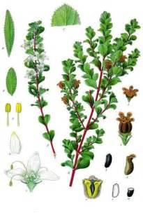 Fragrant Flowering Plants - agathosma wikipedia