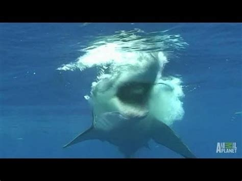 great white shark attacks cage new vinemoments