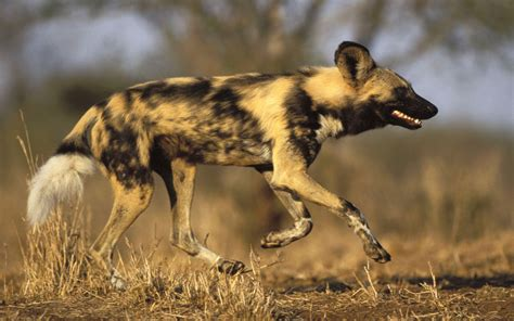 dogs in africa top wildlife safari trips top animal encounters guides