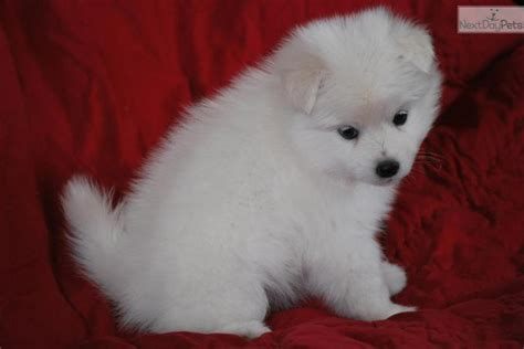 american eskimo puppy price american eskimo puppy for sale near provo orem utah 134710e7 afa1