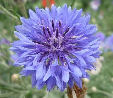 Mjo Flower free photo flower blue knapweed free image on