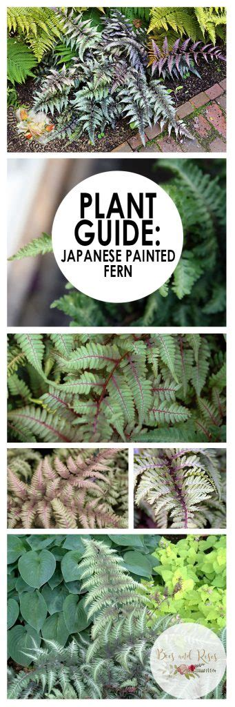 plant guide japanese painted fern    images