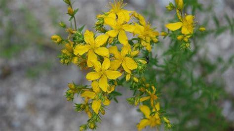 significato dei fiori gialli fiori gialli nomi caratteristiche origine immagini