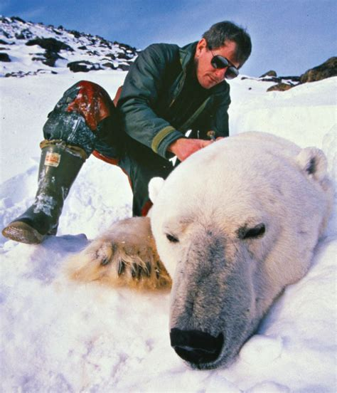 Polar Extinction Essay by The About Polar Bears Canadian Geographic